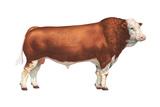 Simmental Bull  Beef Cattle  Mammals