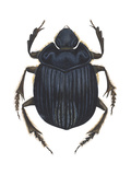 Scarab Beetle (Canthon Pilularius)  Insects