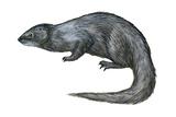 Mongoose (Herpestes Nyula)  Mammals