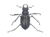 Stag Beetle (Lucanus Capreolus)  Insects