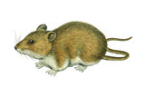 Rice Rat (Oryzomys Palustris)  Mammals