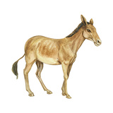 Onager (Equus Onager)  Mammals