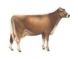 Brown Swiss Cow  Dairy Cattle  Mammals
