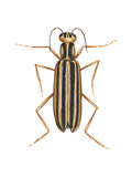 Striped Blister Beetle (Epicauta Vittata)  Insects