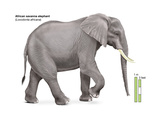 African Savanna Elephant (Loxodonta Africana)  Mammals