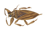 Giant Water Bug (Lethocerus Americanus)  Electric Light Bug  Insects