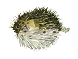 Porcupinefish (Diodon Holocanthus)  Fishes