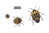 Harlequin Bug Metamorphosis (Murgantia Histrionica)  Insects