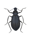 Darkling Beetle (Alobates Pennsylvanica)  Insects