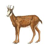 Chamois (Rupicapra Rupicapra)  Mammals