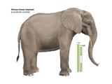African Forest Elephant (Loxodonta Cyclotis)  Mammals