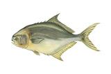 Pompano (Trachinotus Carolinus)  Fishes