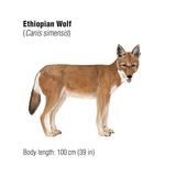 Ethiopian Wolf (Canis Simensis)  Mammals