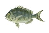 Porgy (Stenotomus Chrysops)  Fishes