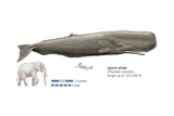 Sperm Whale (Physeter Catodon)  Mammals