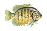 Pumpkinseed (Lepomis Gibbosus)  Fishes