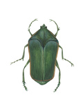 Green June Beetle (Cotinus Nitida)  Insects