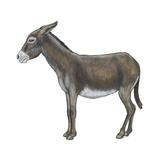 Donkey (Equus Asinus)  Mammals