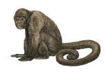 Woolly Monkey (Lagothrix Infumatus)  Mammals