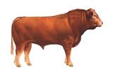 Limousin Bull  Beef Cattle  Mammals