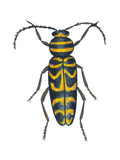 Long-Horned Beetle (Megacyllene Robiniae)  Locust Borer  Insects