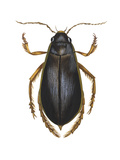 Diving Water Beetle (Dysticus Marginalis)  Insects