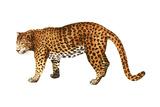 Leopard (Felis Pardus)  Mammals