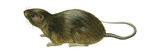 Florida Water Rat (Neofiber Alleni)  Mammals