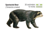Spectacled Bear (Tremarctos Ornatus)  Mammals