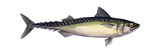 Pacific Mackerel (Scomber Japonicus)  Fishes