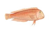 Razorfish (Xyrichthys Psittacus)  Fishes