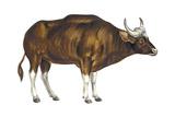 Wild Cattle  Gaur (Bos Gaurus)  Mammals
