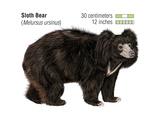 Sloth Bear (Melursus Ursinus)  Mammals