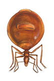 Honey Ant (Myrmecocystus Hortideorum)  Insects