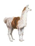 Domestic Llama (Lama Glama)  Mammals