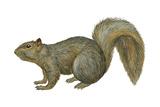 Fox Squirrel (Sciurus Niger)  Mammals