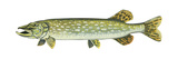 Pike (Esox Lucius)  Fishes
