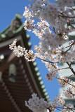 Cherry Blossom at Tocho-Ji Temple  Fukuoka  Kyushu  Japan