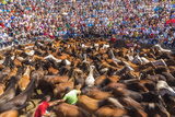 Wild Horses Rounded Up During Rapa Das Bestas (Shearing of the Beasts) Festival Sabucedo  Galicia