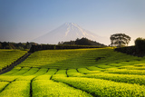 Japan  Shizuoka Prefecture  Mt Fuji and Green Tea Plantations