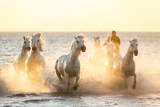 Gardian  Cowboy and Horseman of the Camargue with Running White Horses  Camargue  France