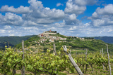 Vineyards  Motovun  Istria  Croatia