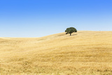 Europe  Portugal  Alentejo  a Solitary Cork Oak Tree in a Wheat Field in the Central Alentejo