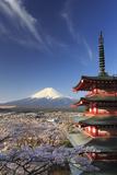 Japan  Yamanashi Prefecture  Fuji-Yoshida  Chureito Pagoda and Mt Fuji During Cherry Blossom Season