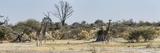 Giraffes (Giraffa Camelopardalis) Standing in a Forest  Chitabe  Okavango Delta  Botswana