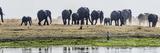 African Elephants (Loxodonta Africana) Walking  Chobe River  Botswana