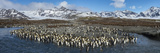 Colony of King Penguins (Aptenodytes Patagonicus) and Chicks Spread Along a River