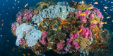 Reef Outcrop Encrusted with Colorful Hard and Soft Corals Surrounded by Sea Goldies