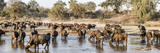 Herd of Cape Buffalos (Syncerus Caffer) in River  Mala Mala Game Reserve  South Africa