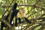 White-Faced Capuchin Monkey (Cebus Capucinus)  Costa Rica